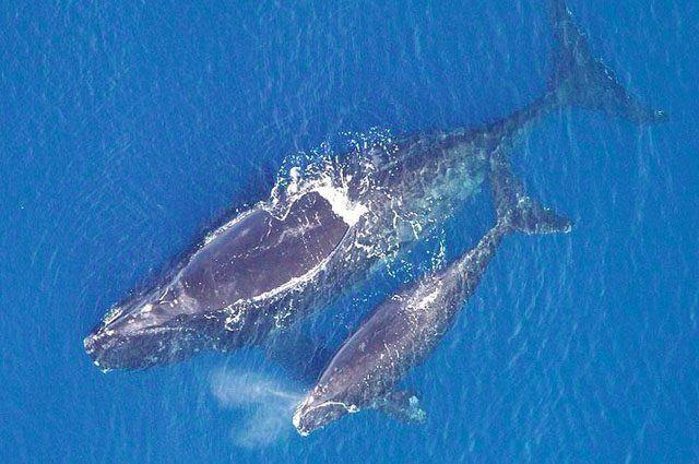 Северный кит имеет длину до 21 метра (самцы), а весит около ста тонн. Практически половину всей массы составляет китовый жир. Северный кит обитает в Атлантическом океане, в большей части на северо-западе, в то время как на востоке полностью истреблен.